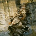 Green Timber Duck Hunting 2011-2012 Gallery -- bayou-meto-18-limis-1984-usfws-raid.jpg