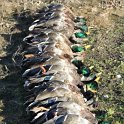 Green Timber Duck Hunting 2011-2012 Gallery -- img_2340.jpg