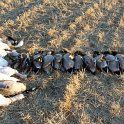 Green Timber Duck Hunting 2011-2012 Gallery -- img_2568.jpg