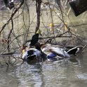 Green Timber Duck Hunting 2011-2012 Gallery -- img_2736.jpg