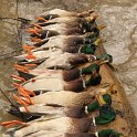 Green Timber Duck Hunting 2011-2012 Gallery -- img_3346.jpg