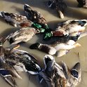 Green Timber Duck Hunting 2011-2012 Gallery -- img_3398.jpg