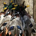 Green Timber Duck Hunting 2011-2012 Gallery -- img_3947.jpg